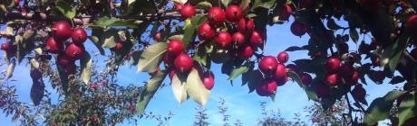 Apples 2 IMG_1436